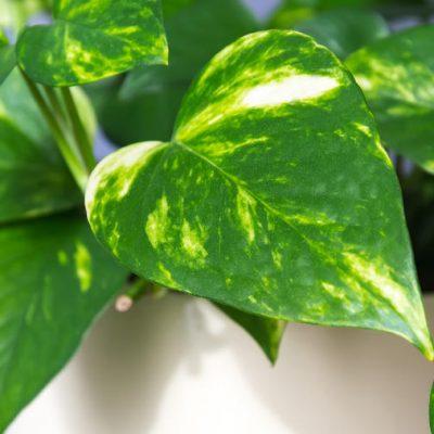Ova biljka filtrira vazduh, savršena je dekoracija, a uspjeva baš svima!