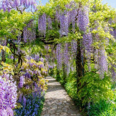 KAKO DA ODGAJITE I PERFEKTNO OBLIKUJETE GLICINIJU: Drvo-cvijet koje hipnotiše čitavu okolinu!