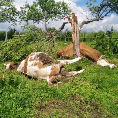 Tužan prizor kod Prijepolja: Grom ubio dvije krave u domu Tomaševića