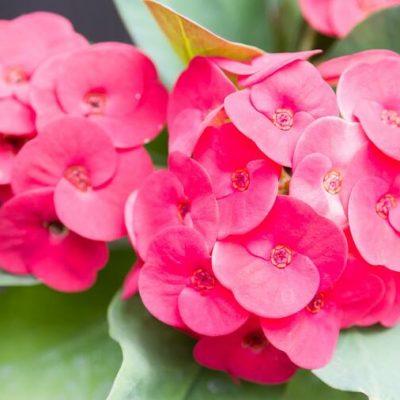 OVAKO SE NJEGUJE I GAJI ISUSOV TRN: Božanstveni cvijet koji tjera negativnu energiju!