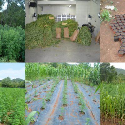 Otkriveno sedam plantaža marihuane, pronađeno skoro 3.700 stabljika