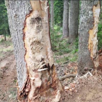 NVU Drvoprerađivači Plav : Hiljade kubika izvala i sušika koje trunu i oboljevaju, zbog kojih oboljevaju i zdrava stabla
