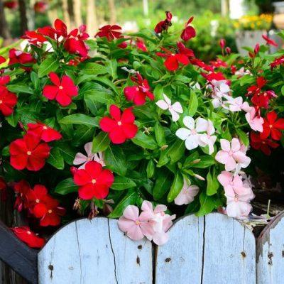 VINKA – LJEPOTICA SA MADAGASKARA: Evo kako da gajite ovo divno cvijeće!