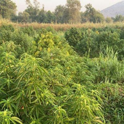 Albanski državljani uzgajali marihuanu pored Skadarskog jezera