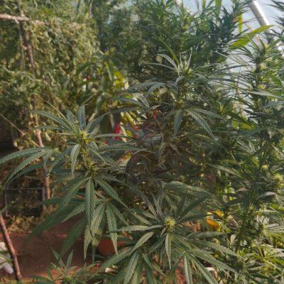 Pronađen plastenik sa 19 stabljika marihuane, uhapšena jedna osoba