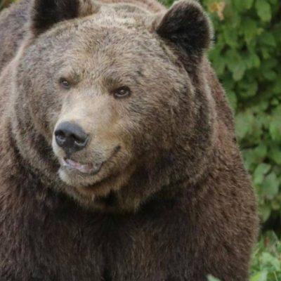Beranca napao medvjed dok je brao kleku u šumi