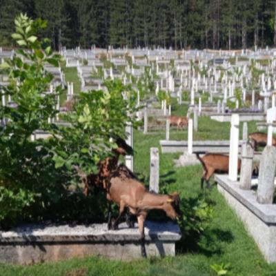 Koze u gradskom groblju Ravne