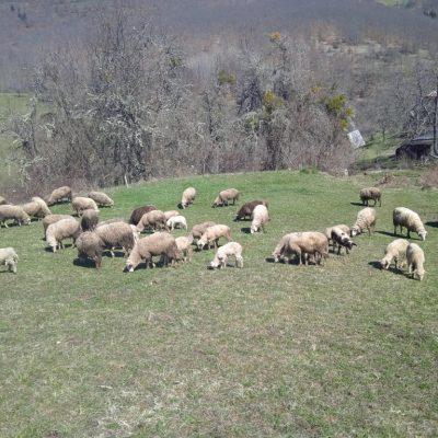 Iz Unije stočara sjevera upozorili: Domaće jagnjetine fali, svinjetine iz uvoza na pretek