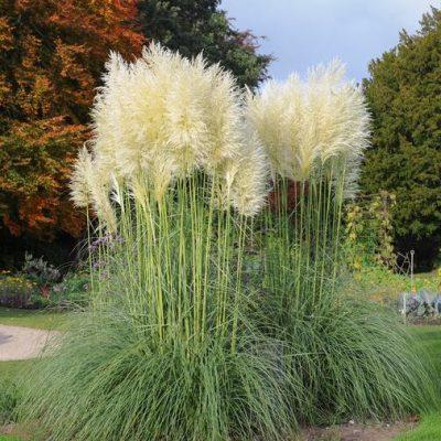 Ovako se njeguje i gaji pampas, najljepša jesenja biljka!